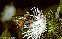 1B01-037z   Honeybee pollinating flower - Apis mellifera