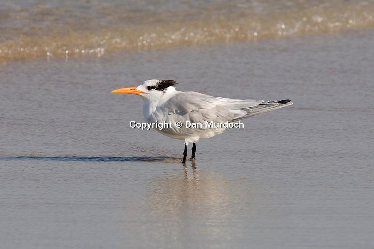 Royal Tern beachside