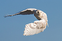 Snowy owl in flight, Duxbury beach, Massachusetts