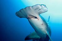 great hammerhead shark, Sphyrna mokarran, Bahamas, Caribbean Sea, Atlantic Ocean