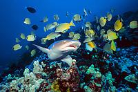 whitetip reef shark, Triaenodon obesus, and other reef fish including bluestripe snappers, Lutjanus kasmira, and milletseed butterflyfish, Chaetodon miliaris, Maui, Hawaii, USA, Pacific Ocean
