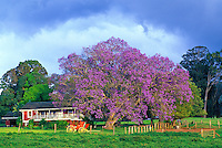 A jacaranda tree in full bloom and stage coach front a red farm house in Olinda near the paniolo (cowboy) town of Makawao in upcountry Maui.