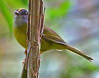 Russet-crowned warbler