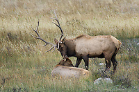 Bull Elk with Cow, Rocky Mountain National Park
