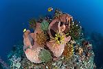Giant barrel sponge (Xestospongia testudinaria) studded with crinoids or featherstars