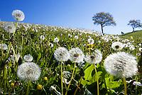 Dandelion meadow, Taraxacum officinale