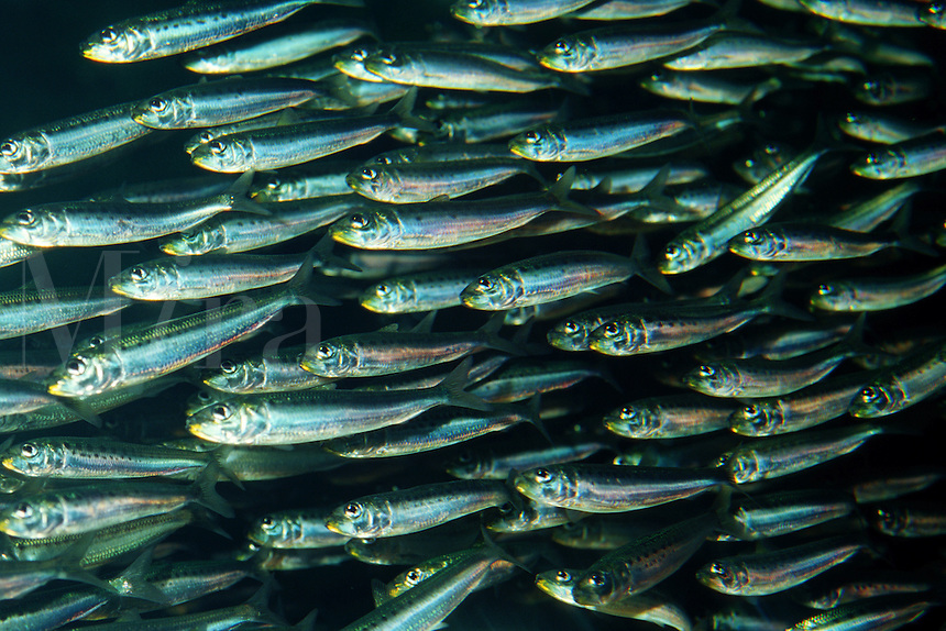 Pacific sardine, Sardinops sagax, form large polarized schools that swim in from open water to the near shore kelp beds, California, Pacific Ocean