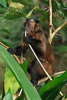 Tufted or Brown Capuchin (Cebus apella), adult eating, Pacaya-Samiria National Park, Peru