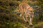 Mountain Lion (Puma concolor) female, Torres del Paine National Park, Patagonia, Chile