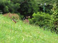 A beautiful myna and a tailor bird on a sloped grass land
