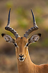 Impala (Aepyceros melampus) male, Kruger National Park, South Africa