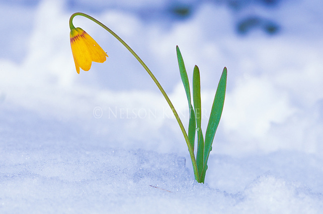Yellow Fritillary, better known as yellow bells growing in Lolo National Forest in western Montana after a spring snowfall