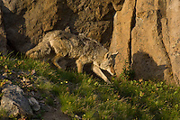Wild Coyote (Canis latrans) walks along rocky cliff in late evening light.  Western U.S., June.