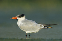 Caspian Tern, Sterna caspia,immature, Welder Wildlife Refuge, Sinton, Texas, USA