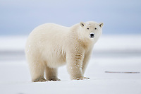 Polar bear in the snow along the shore of a barrier island in Alaska's Beaufort Sea, Arctic National Wildlife Refuge.