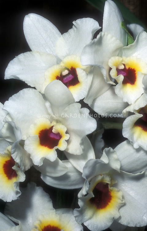 Dendrobiums white nobile hybrid with contrast throated lip of red and yellow
