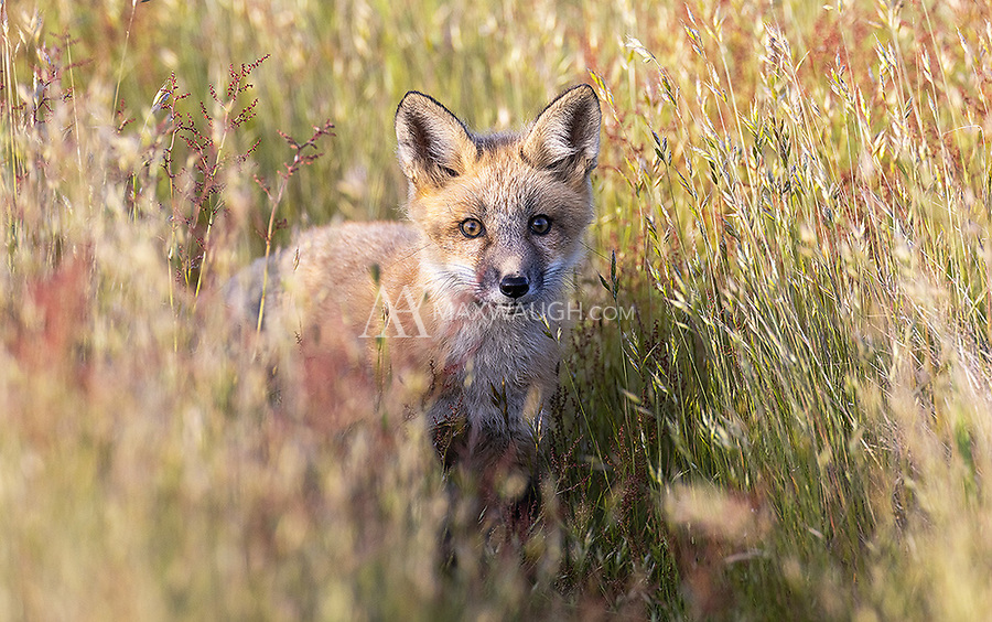 """The foxes in this area come in a variety of colors, including the traditional """"red"""" fur."""