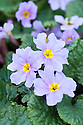 Primula 'Iris Mainwaring', mid March.