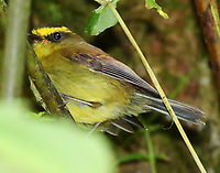 Yellow-bellied chat tyrant