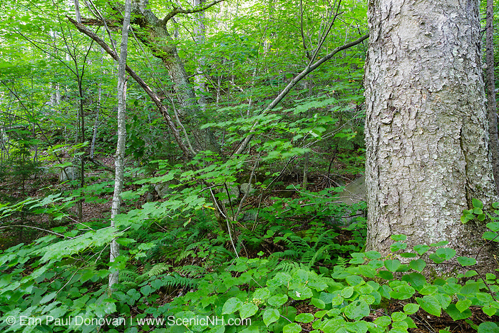 Yellow Birch (Betula alleghaniensis) -  during the summer months at Lafayette Brook Scenic Area in the White Mountains, New Hampshire.
