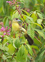 Female lemon-rumped tanager, Ramphocelus icteronotus, feeding on berries in Tandayapa Valley, Ecuador