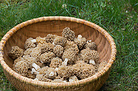 Speisemorchel, Speise-Morchel, Rundmorchel, Rund-Morchel, Morchel, Speisemorcheln, Morcheln, Pilzernte, Morchella esculenta, Morellus esculentus, common morel, morel, yellow morel, true morel, morel mushroom, sponge morel, morels, la Morille comestible
