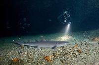 divers approach whitetip reef shark, Triaenodon obesus, resting inside of cavern, Gato Island, off Malapascua, Cebu, Philippines  (Visayan Sea, Western Pacific Ocean)