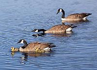There were some nice opportunities to photograph Canada Geese and their offspring at Trout Lake.
