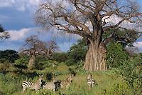 Burchell's Zebra or Plains Zebra (Equus burchelli), Africa.  By Baobab tree in Tarangire N.P., Tanzania.