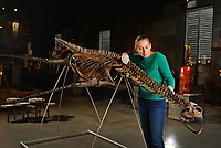 BNPS.co.uk (01202 558833)<br /> Pic: ZacharyCulpin/BNPS<br /> <br /> PICTURED: Kate Diment of Summers Place with the amazing Plesiosaur skeleton available for £40000. The marine based Plesiosaur lived between 215 million to 80 million years ago<br /> <br /> A collection of Jurassic Park-like fossilised amber containing 100 million year old insects has emerged for sale at auction.<br /> <br /> The 12 translucent lumps of the prehistoric resin date back to when dinosaurs walked the earth.<br /> <br /> At least five of the samples hold the perfectly preserved form of insects including a mosquito, a spider, a scorpion and a cockroach.<br /> <br /> In Steven Spielberg's classic 1993 film starring Richard Attenborough dinosaurs are reintroduced to the world by extracting their DNA from a mosquito preserved in amber.