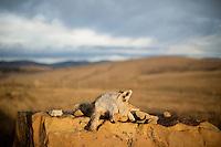 Dead Coyote - off Millegan Road, Ulm, Montana