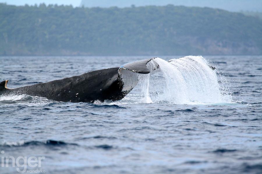 Humpback Whale Diving in Tonga
