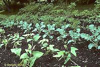 HS18-033a  Vegetable garden - seedlings beans, broccoli, tomato