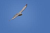 Gray Hawk in flight, Big Bend National Park, Texas