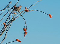 A White-winged Dove, Zenaida asiatica, perches in an Ocotillo, Fouquieria splendens, in Saguaro National Park, Arizona