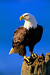 A bald eagle perched on a tree stump in Southeast Alaska.