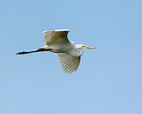 Great Egret, Alligator Farm, St. Augustine, Florida