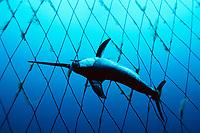 broadbill swordfish, Xiphias gladius, caught in open-ocean drift gill net, Italy, Mediterranean Sea, Atlantic Ocean