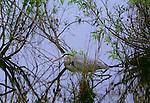 Great blue heron, Everglades National Park, Florida