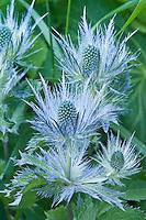 Chardon bleu des Alpes = panicaut des Alpes = reine des Alpes ( Eryngium alpinum ) // Alpine Sea Holly, Eryngium alpinum