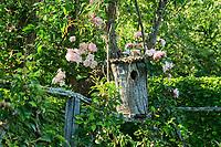 Les jardins du prieuré d'Orsan : nichoir dans un prunier, avec poirier dessous et le rosier 'Albertine'<br /> <br /> Mention obligatoire du nom du jardin et pas d'usage publicitaire sans autorisation préalable.