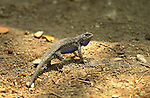 Bluebelly Lizard Display, Western Fence Lizard, Sepulveda Wildlife Refuge, Southern California