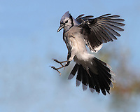 The blue jay is omnivorous. It eats fruits, acorns, seeds, nuts, insects, mice and frogs.