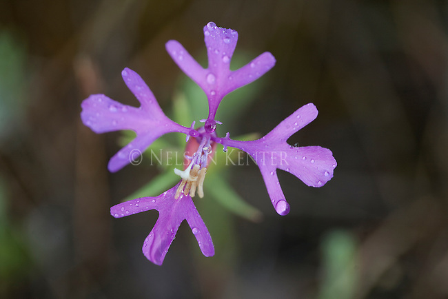 Clarkia wildflower blossom, commonly know as Deerhorn for its flower shape