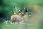 Roosevelt elk bull, Washington, USA