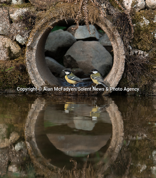 Pictured: Two great tits peek out of the tunnel<br /> <br /> A series of animals are perfectly reflected in a pool of water as they peek their heads out of a tunnel.<br />    The array of wildlife - from a red squirrel to a badger - seek refuge from the hot weather in the drainage pipe.<br />  <br /> Visitors to the 18-inch wide tunnel and the surrounding small pool include a blackbird, a great spotted woodpecker, an otter and a family of blue tits.    Photographer Alan McFadyen pictured the animals near his home in Kirkcudbright, Scotland.   SEE OUR COPY FOR DETAILS<br /> <br /> Please byline: Alan McFadyen/Solent News<br /> <br /> © Alan McFadyen/Solent News & Photo Agency<br /> UK +44 (0) 2380 458800