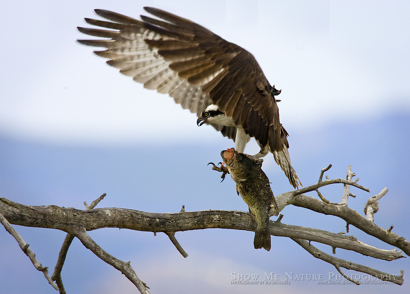 """Osprey with Fish-3"", Montana"