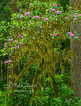 Rhododendron Bloom, Jedediah Smith Redwoods State Park, Redwood National and State Parks, California