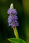 Pickerelweed on the East fork of the Chippewa River