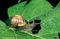 1Y08-088z   Land Snail - east coast land snail - Sephia hortensis